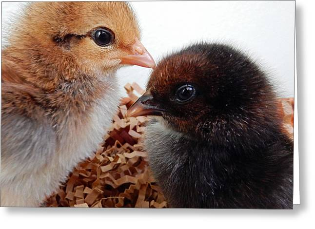 Baby Chicks Greeting Card