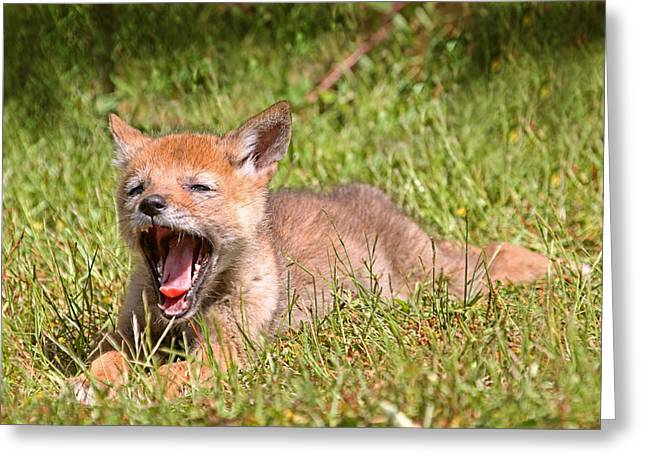 Baby Coyote Yawning Greeting Card