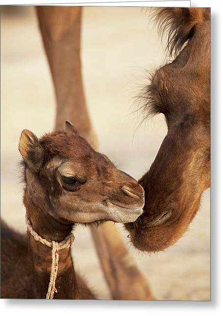 Baby Dromedary Camel Mers Reservoir Host Greeting Card
