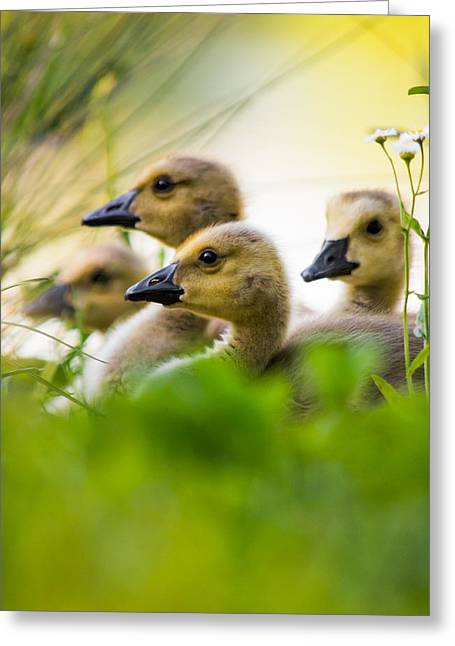 Baby Ducklings Greeting Card by Parker Cunningham