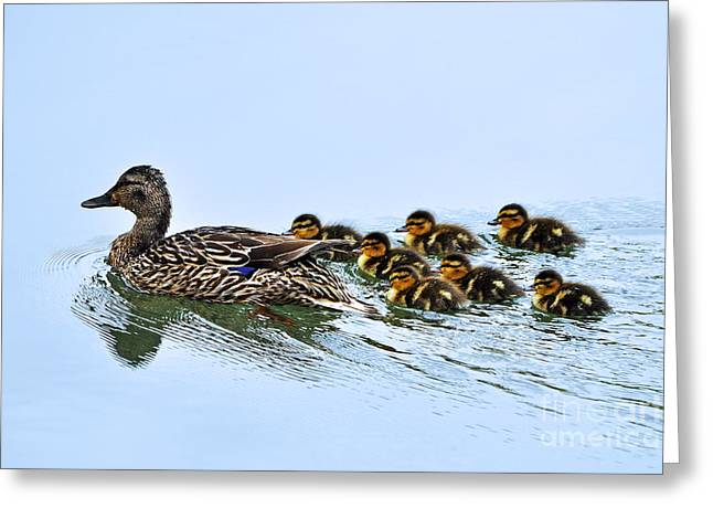 Baby Ducks Follow Greeting Card