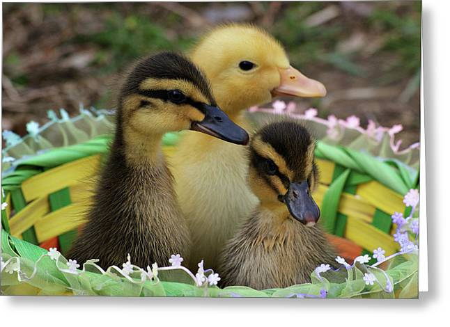 Baby Ducks Greeting Card by Sandy Keeton