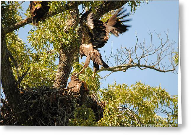 Baby Eagle Trying To Fly Greeting Card by Jai Johnson