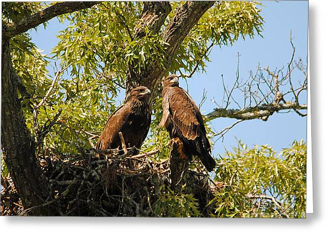 Baby Eagles Portrait Greeting Card by Jai Johnson
