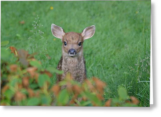 Greeting Card featuring the photograph Baby Fawn In Yard by Kym Backland