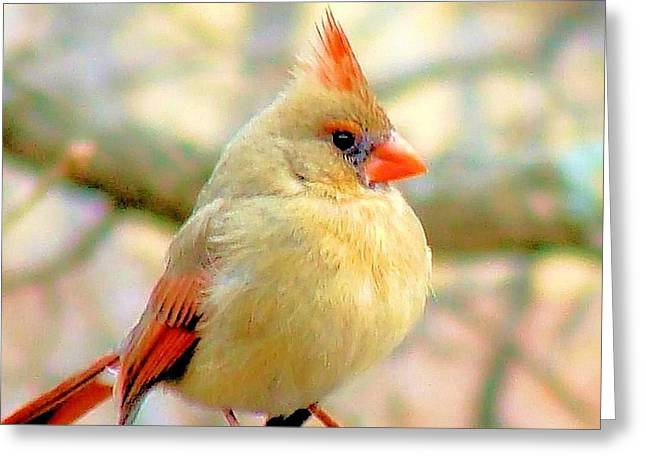 Greeting Card featuring the photograph Baby Female Cardinal by Janette Boyd