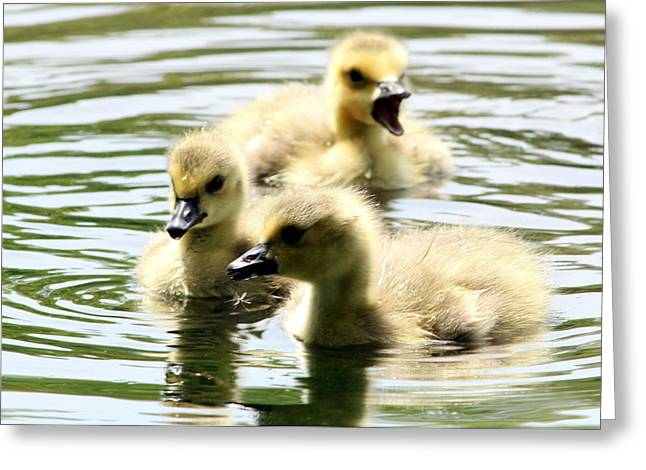 Baby Geese Greeting Card by Diane Rada