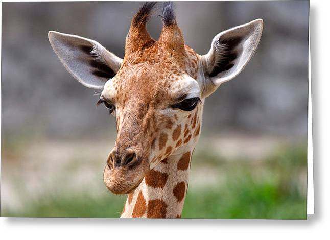 Baby Giraffe Greeting Card by Louise Heusinkveld