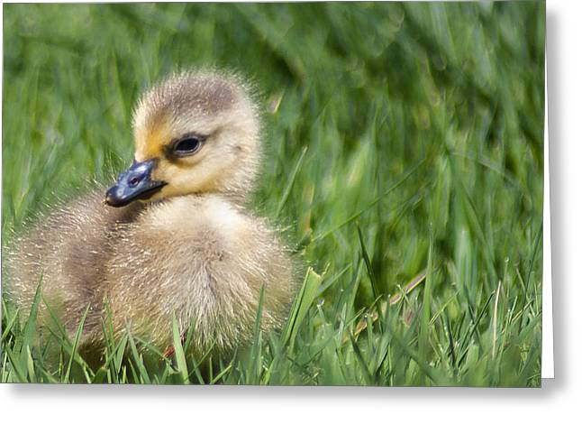 Baby Goose Greeting Card by Optical Playground By MP Ray