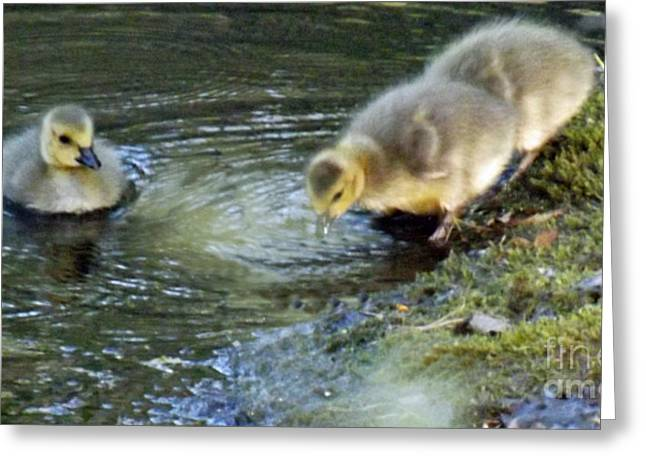 Baby Goslings Shoreline Greeting Card by Brenda Brown