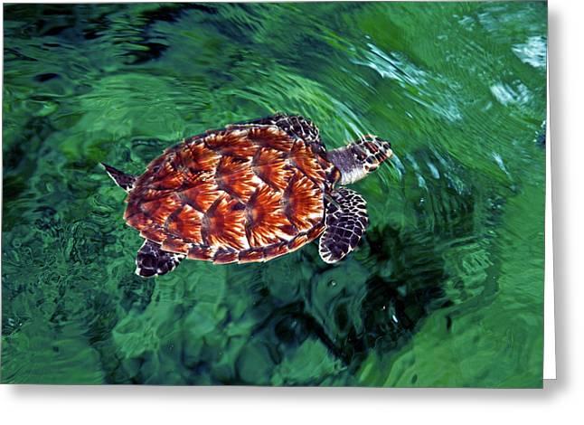 Baby Hawksbill Turtle (eretmochelys Greeting Card