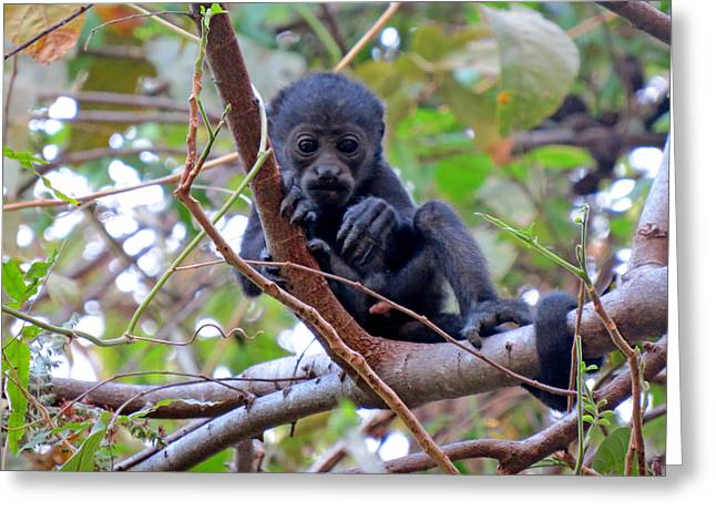 Baby Howler Monkey  Greeting Card by Melanie Beckler