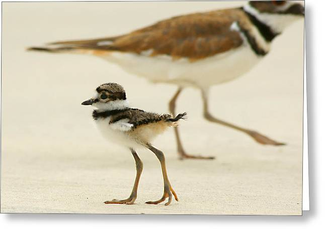 Baby Killdeer Greeting Card