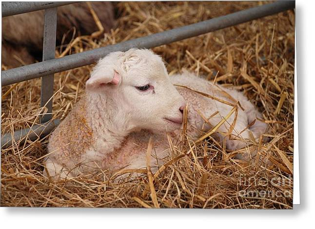 Baby Lamb Greeting Card