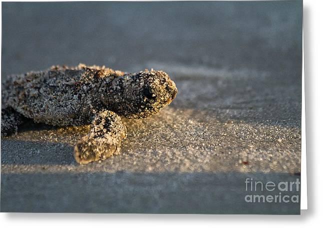Baby Loggerhead Sea Turtle Amelia Island Florida Greeting Card