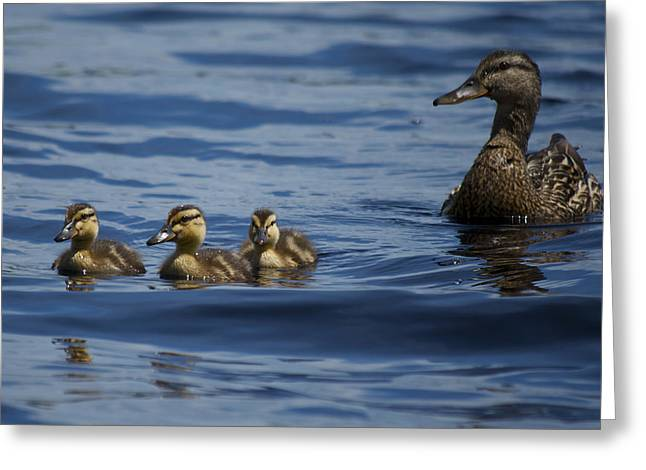 Baby Mallards And Mother Greeting Card