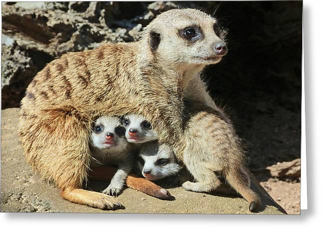 Baby Meerkats View The World Greeting Card by Margaret Saheed