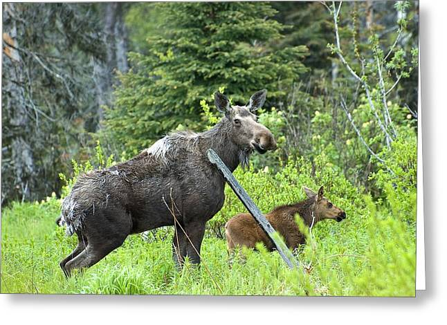Baby Moose - Mom Greeting Card