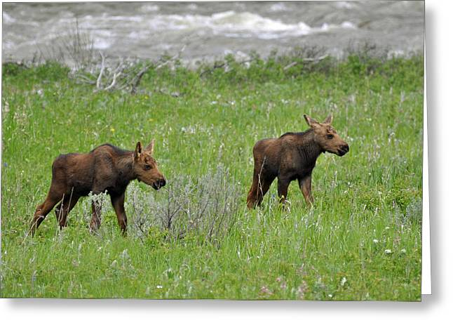Baby Moose On The Banks Of The Gallatin Greeting Card by Bruce Gourley