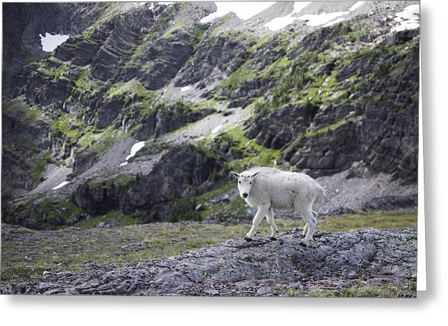 Baby Mountain Goat At Comeau Pass Greeting Card