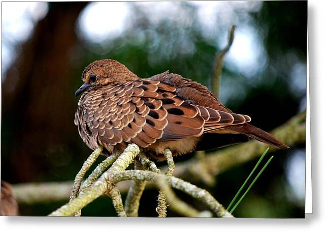 Baby Mourning Dove Greeting Card by Mary Beth Landis
