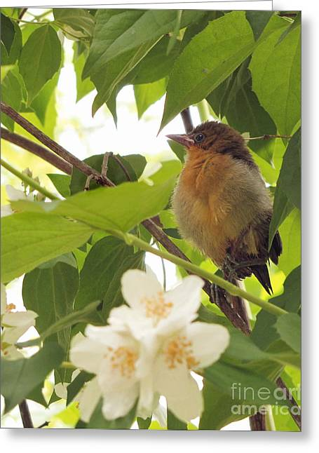 Baby Oriole Greeting Card by Marilyn Smith