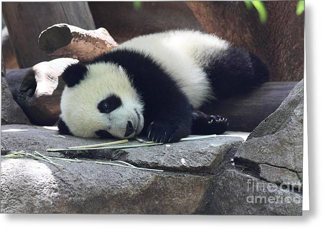 Greeting Card featuring the photograph Baby Panda by John Telfer