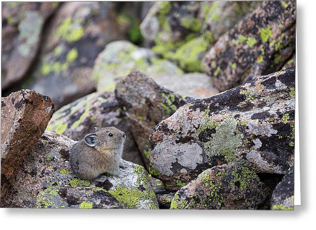 Baby Pika Greeting Card