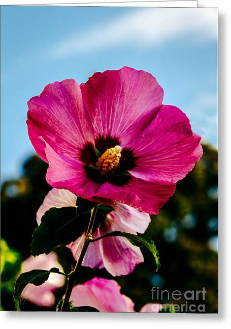 Baby Pink Hollyhock Greeting Card by Robert Bales