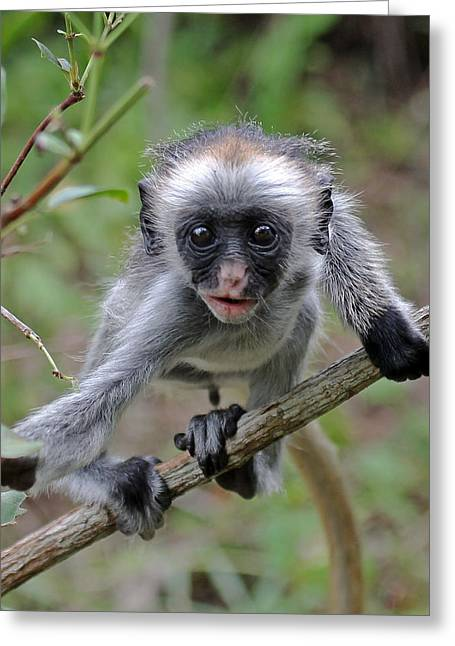 Baby Red Colobus Monkey Greeting Card