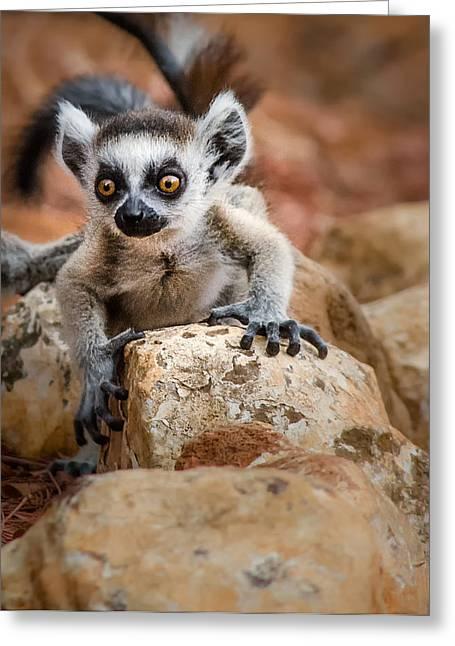 Baby Ringtail Lemur Greeting Card by Linda Villers
