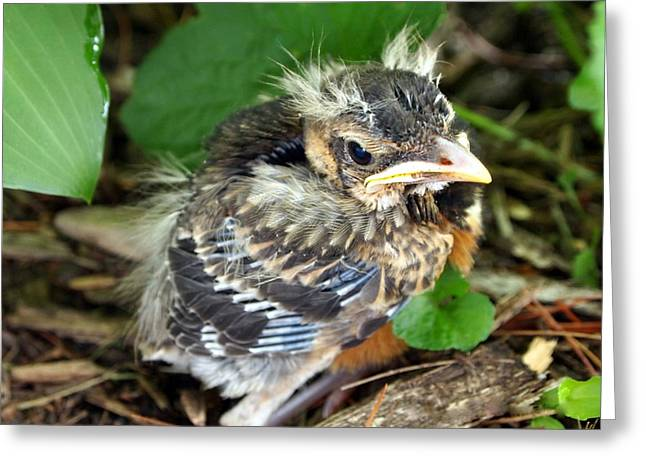 Baby Robin Among The Hosta's 2 Greeting Card by Deborah Fay