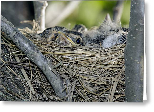 Greeting Card featuring the photograph Baby Robins 2 by David Lester