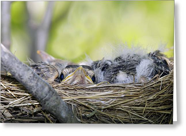 Greeting Card featuring the photograph Baby Robins by David Lester