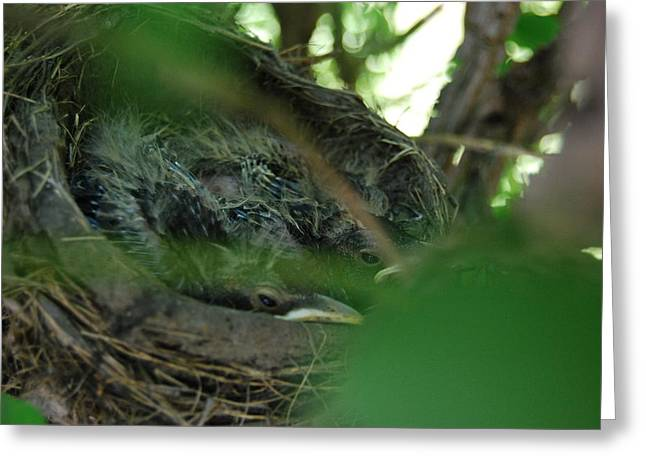 Greeting Card featuring the photograph Baby Robins Nesting by Ramona Whiteaker