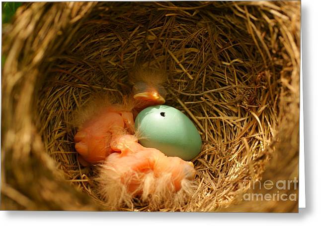 Baby Robins2 Greeting Card