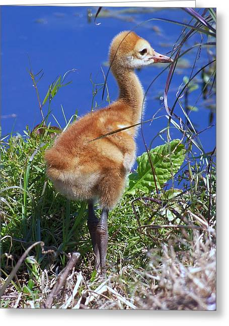 Greeting Card featuring the photograph Baby Sandhill Crane 064  by Chris Mercer