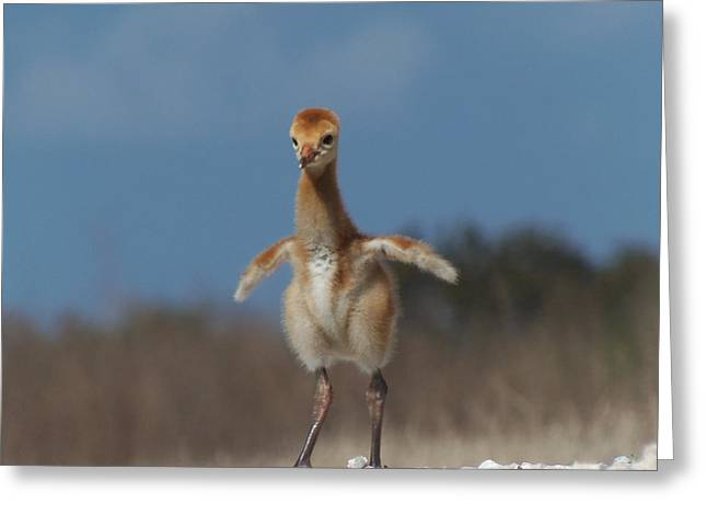 Greeting Card featuring the photograph Baby Sandhill Crane 071 by Chris Mercer