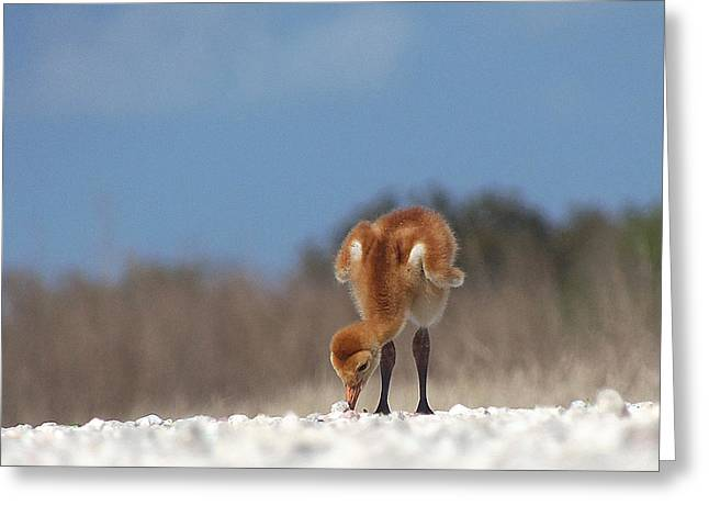 Baby Sandhill Crane 072 Greeting Card