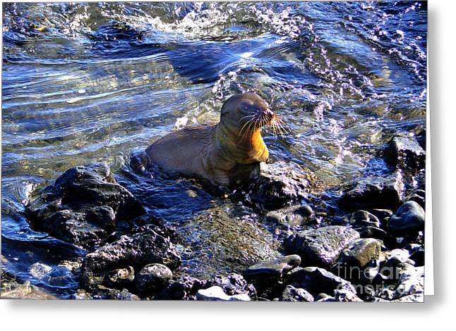 Baby Sea Lion In The Galapagos Greeting Card