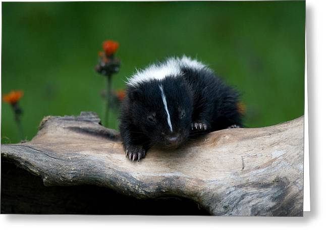 Baby Skunk Greeting Card