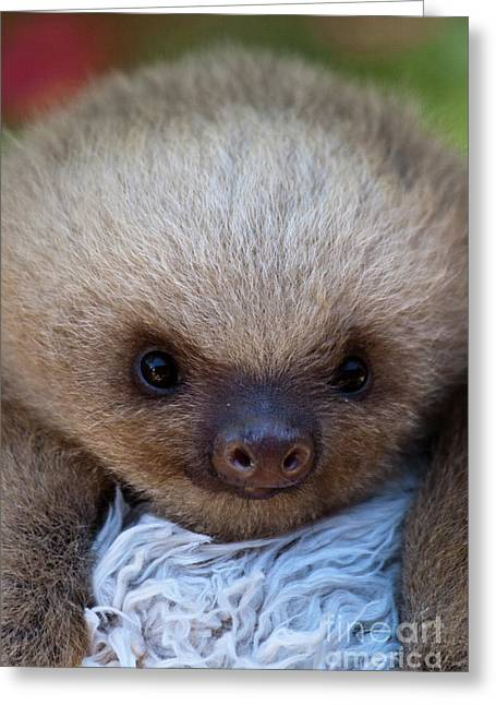 Baby Sloth Greeting Card by Heiko Koehrer-Wagner