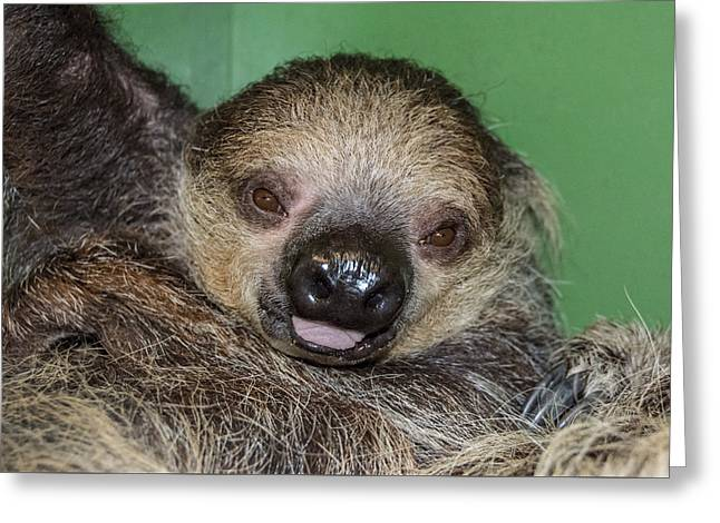 Baby Sloth Greeting Card by Robin Williams