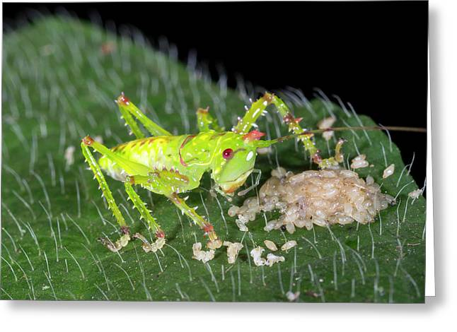 Baby Thorny Devil Katydid Greeting Card