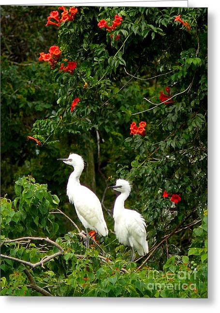 Baby White Egrets Greeting Card
