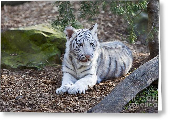 Baby White Tiger Greeting Card