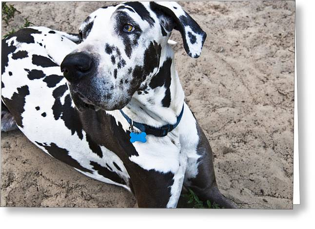 Bacchus The Great Dane Greeting Card