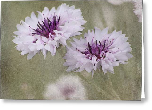 Bachelor Buttons - Flowers Greeting Card