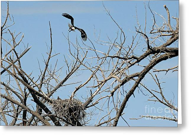 Back To The Nest Greeting Card by Bob Hislop