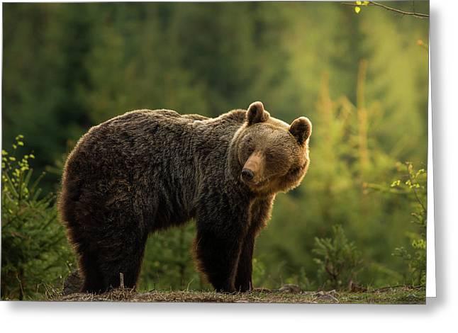 Backlit Bear Greeting Card